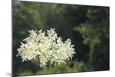 Black Elder Flowers, Sambucus Nigra, Against a Blue Sky with Clouds-Joe Petersburger-Mounted Photographic Print