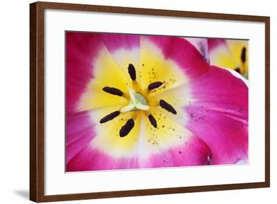 Close Up of the Pistil and Stamens of a Magenta and Yellow Tulip-Joe Petersburger-Framed Photographic Print