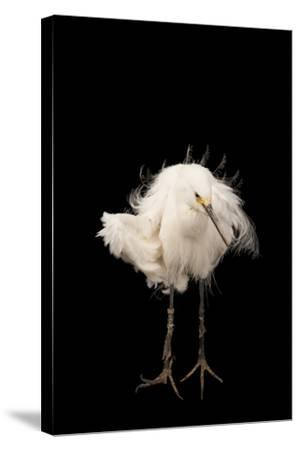 A Snowy Egret, Egretta Thula, at the Lincoln Children's Zoo-Joel Sartore-Stretched Canvas Print