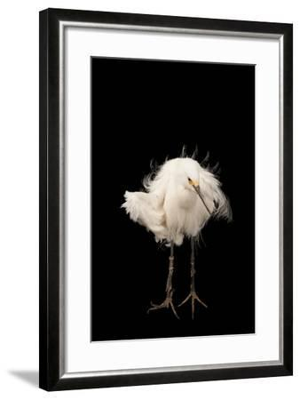 A Snowy Egret, Egretta Thula, at the Lincoln Children's Zoo-Joel Sartore-Framed Photographic Print