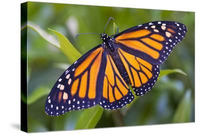 A Monarch Butterfly, Just after Emerging from a Chrysalis-Michael Melford-Stretched Canvas Print