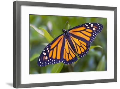 A Monarch Butterfly, Just after Emerging from a Chrysalis-Michael Melford-Framed Photographic Print