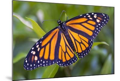 A Monarch Butterfly, Just after Emerging from a Chrysalis-Michael Melford-Mounted Photographic Print