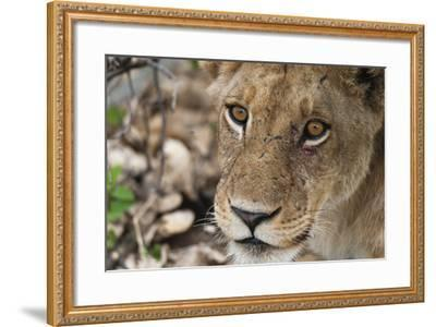 Close Up Portrait of a Lioness, Panthera Leo, with Small Injuries under Her Left Eye-Sergio Pitamitz-Framed Photographic Print