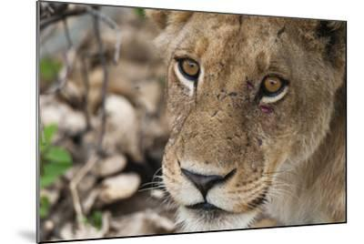 Close Up Portrait of a Lioness, Panthera Leo, with Small Injuries under Her Left Eye-Sergio Pitamitz-Mounted Photographic Print