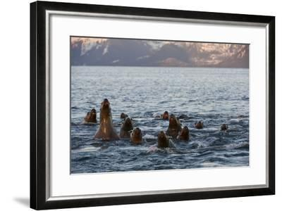 A Pod of Steller Sea Lions, Eumetopias Jubatus, Peering Above the Water's Surface-Michael S^ Quinton-Framed Photographic Print