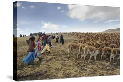 A Line of Quechua Villagers Herd a Group of Wild Vicuna-Beth Wald-Stretched Canvas Print