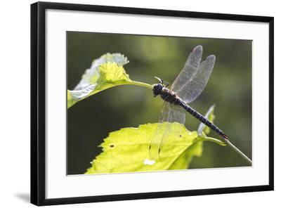 A Common Hawker Dragonfly at Rest on a Leaf Stem at Bartlett Cove-Matthias Breiter-Framed Photographic Print