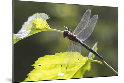 A Common Hawker Dragonfly at Rest on a Leaf Stem at Bartlett Cove-Matthias Breiter-Mounted Photographic Print