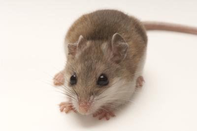 A Rare Male Alabama Beach Mouse, Peromyscus Polionotus Ammobates-Joel Sartore-Framed Photographic Print