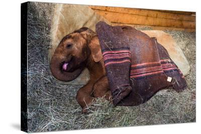 An Orphaned African Elephant Calf Sleeping Beneath a Blanket-Jason Edwards-Stretched Canvas Print