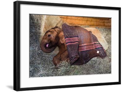 An Orphaned African Elephant Calf Sleeping Beneath a Blanket-Jason Edwards-Framed Photographic Print