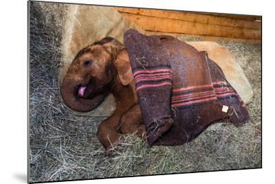 An Orphaned African Elephant Calf Sleeping Beneath a Blanket-Jason Edwards-Mounted Photographic Print
