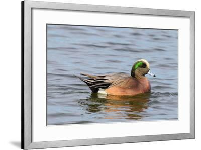Portrait of a Male American Wigeon, Anas Americana, Swimming-George Grall-Framed Photographic Print