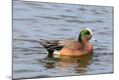 Portrait of a Male American Wigeon, Anas Americana, Swimming-George Grall-Mounted Photographic Print