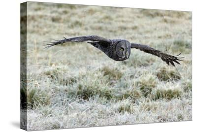 A Great Gray Owl Flies over a Field-Barrett Hedges-Stretched Canvas Print