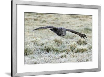 A Great Gray Owl Flies over a Field-Barrett Hedges-Framed Photographic Print