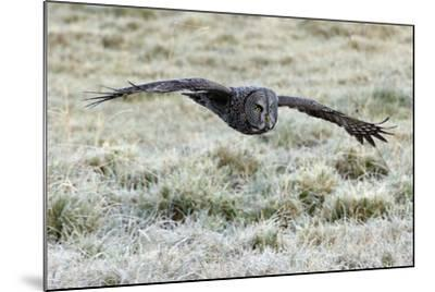 A Great Gray Owl Flies over a Field-Barrett Hedges-Mounted Photographic Print