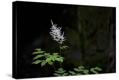 A White Wildflower in Bloom Against a Dark Background-Ulla Lohmann-Stretched Canvas Print
