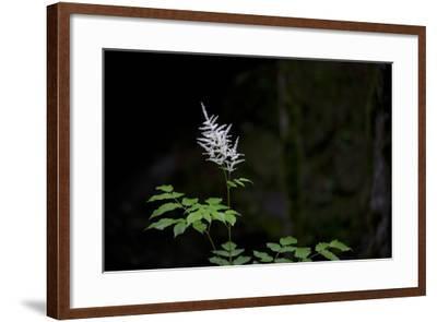 A White Wildflower in Bloom Against a Dark Background-Ulla Lohmann-Framed Photographic Print