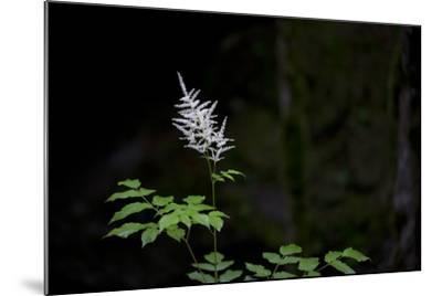 A White Wildflower in Bloom Against a Dark Background-Ulla Lohmann-Mounted Photographic Print