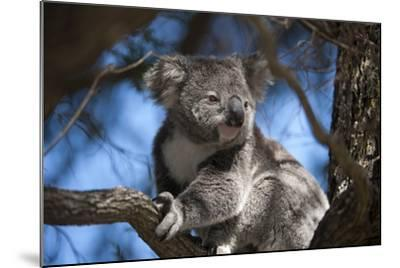A Federally Threatened Koala Rests in a Tree-Joel Sartore-Mounted Photographic Print