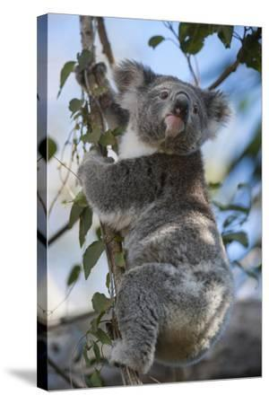 A Federally Threatened Koala Rests in a Tree-Joel Sartore-Stretched Canvas Print