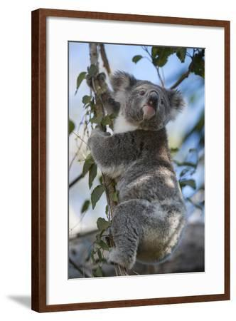 A Federally Threatened Koala Rests in a Tree-Joel Sartore-Framed Photographic Print
