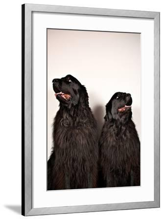 Two Big Dogs Look Away from One Another-Heather Perry-Framed Photographic Print