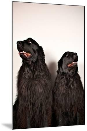 Two Big Dogs Look Away from One Another-Heather Perry-Mounted Photographic Print