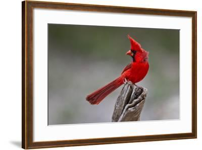 A Male Cardinal Perched on a Stump-Karine Aigner-Framed Photographic Print