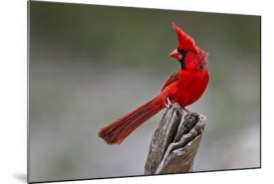A Male Cardinal Perched on a Stump-Karine Aigner-Mounted Photographic Print