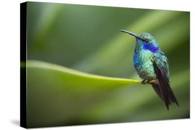 A Perching Green Violet Ear Hummingbird-Roy Toft-Stretched Canvas Print