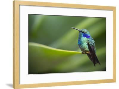 A Perching Green Violet Ear Hummingbird-Roy Toft-Framed Photographic Print