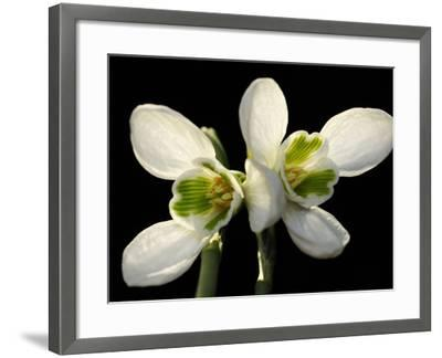Close Up of Two Snowdrop Flowers, Galanthus Species-Darlyne A^ Murawski-Framed Photographic Print