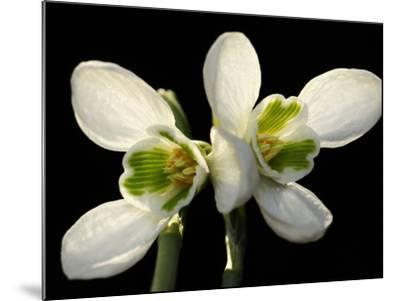 Close Up of Two Snowdrop Flowers, Galanthus Species-Darlyne A^ Murawski-Mounted Photographic Print
