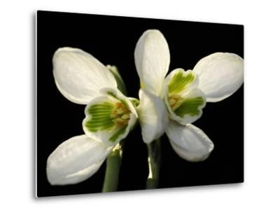 Close Up of Two Snowdrop Flowers, Galanthus Species-Darlyne A^ Murawski-Metal Print