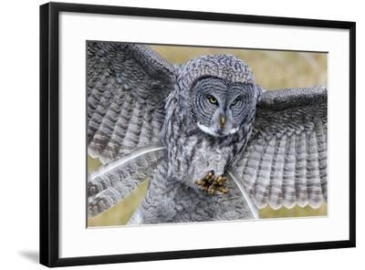 A Great Gray Owl Focuses in on its Next Meal-Barrett Hedges-Framed Photographic Print