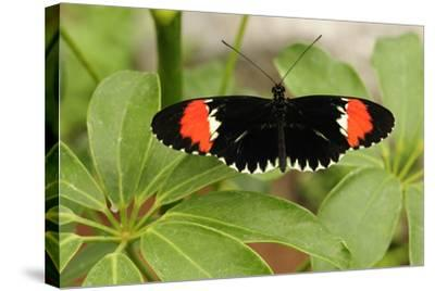 A Heliconius Butterfly Resting on a Plant-Darlyne A^ Murawski-Stretched Canvas Print
