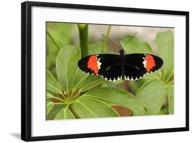 A Heliconius Butterfly Resting on a Plant-Darlyne A^ Murawski-Framed Photographic Print