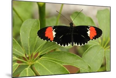 A Heliconius Butterfly Resting on a Plant-Darlyne A^ Murawski-Mounted Photographic Print
