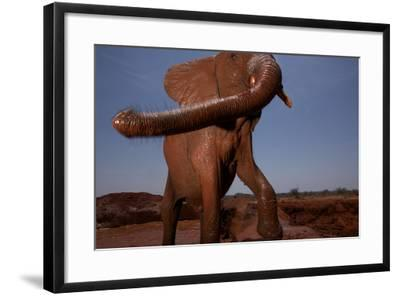 An Orphan Elephant Mudding in a Waterhole-Michael Nichols-Framed Photographic Print