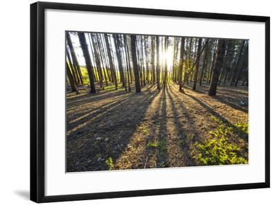 Sunlight Shining Through a Pine Forest-Keith Ladzinski-Framed Photographic Print