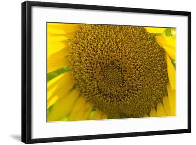 Close Up of a Sunflower, Helianthus Petiolaris-Stephen Alvarez-Framed Photographic Print