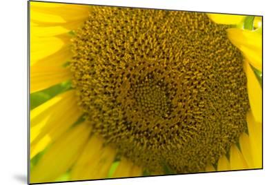 Close Up of a Sunflower, Helianthus Petiolaris-Stephen Alvarez-Mounted Photographic Print