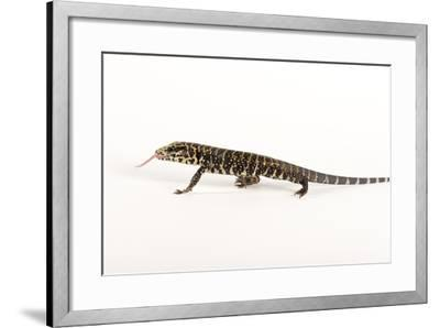 Argentine Black and White Tegu, Tupinambis Teguixin-Joel Sartore-Framed Photographic Print