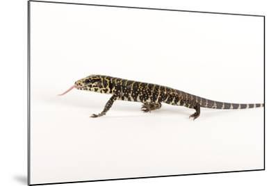 Argentine Black and White Tegu, Tupinambis Teguixin-Joel Sartore-Mounted Photographic Print