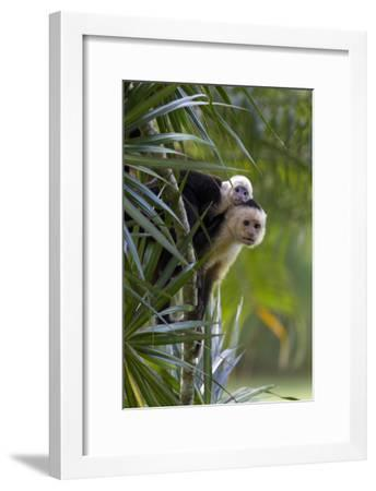 An Adult and Juvenile Brown Capuchin Monkey-Roy Toft-Framed Photographic Print