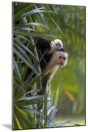 An Adult and Juvenile Brown Capuchin Monkey-Roy Toft-Mounted Photographic Print