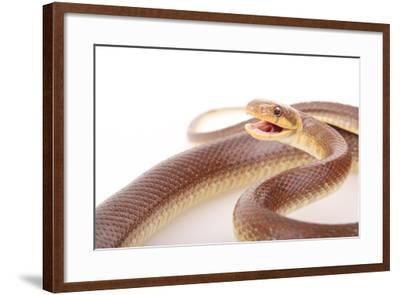 An Aesculapian Snake in a Defense Posture-Joe Petersburger-Framed Photographic Print